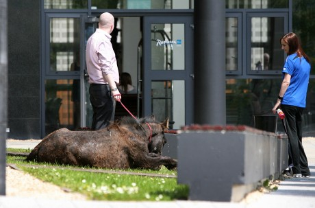 The horse is cared for after wandering into the grounds of the Radisson Hotel, Letterkeny, last week.