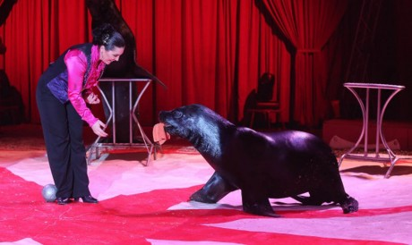 Ziggy the sea lion from Tom Duffy's Circus.