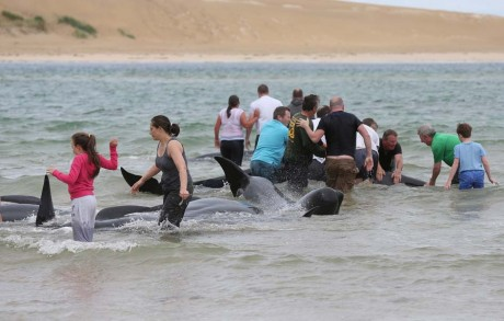 Local people trying to coax the whales back to sea.