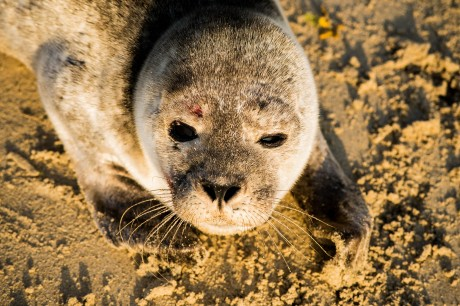 The injured seal found on Magheraroarty Beach last weekend. Photo: Courtesy of Aodhan Gallagher