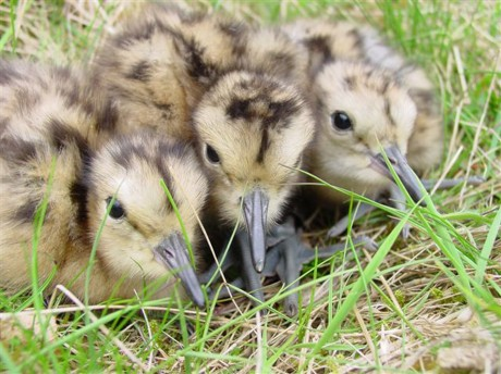 Curlew chicks. Photo by Hugh Insley.