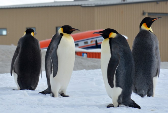 Emperor penguins beside our runway with the hangar behind. Never seen in Carrickfinn !