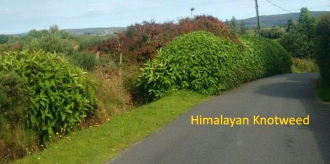 Himalayan Knotweed.