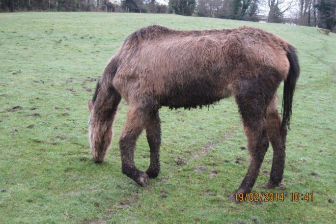 One of the emaciated animals found on farm Leslie Stewart