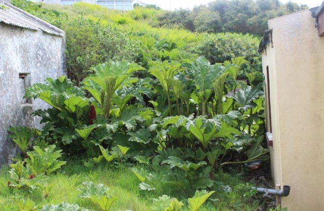 Special meeting to discuss Gaoth Dobhair's wild rhubarb ... | 660 x 430 jpeg 75kB